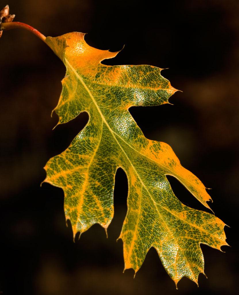 An Oak Leaf